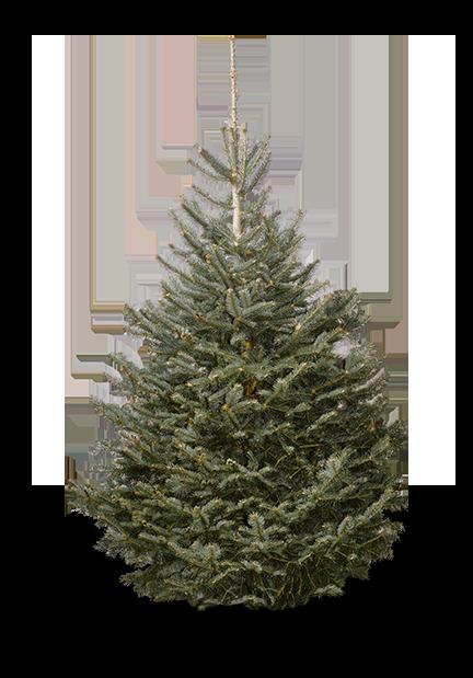 Wann Weihnachtsbaum Kaufen.Korktanne Online Kaufen Christbaum Center